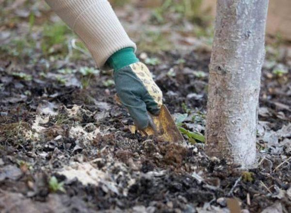 Чем подкармливать вишню весной, чтобы хорошо плодоносила, удобрение