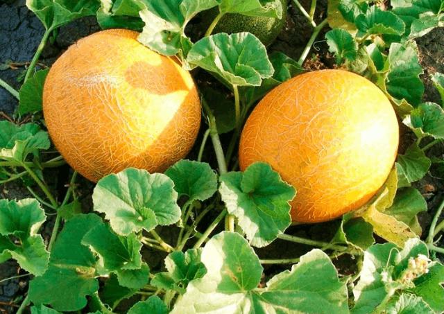 Дыня колхозница выращивание в теплице