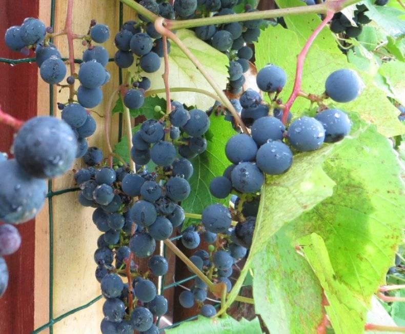 Виноград зилга — излагаем обстоятельно