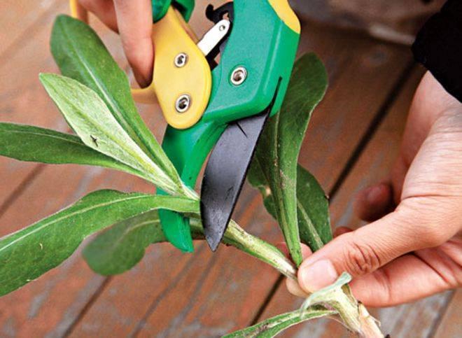 Хоста: выращивание и уход в открытом грунте