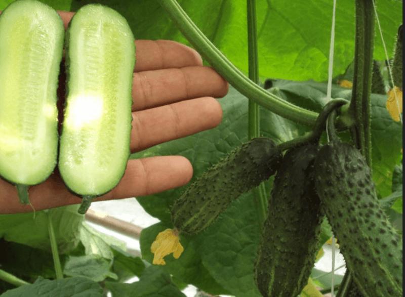Огурец маша f1: характеристика и агротехника