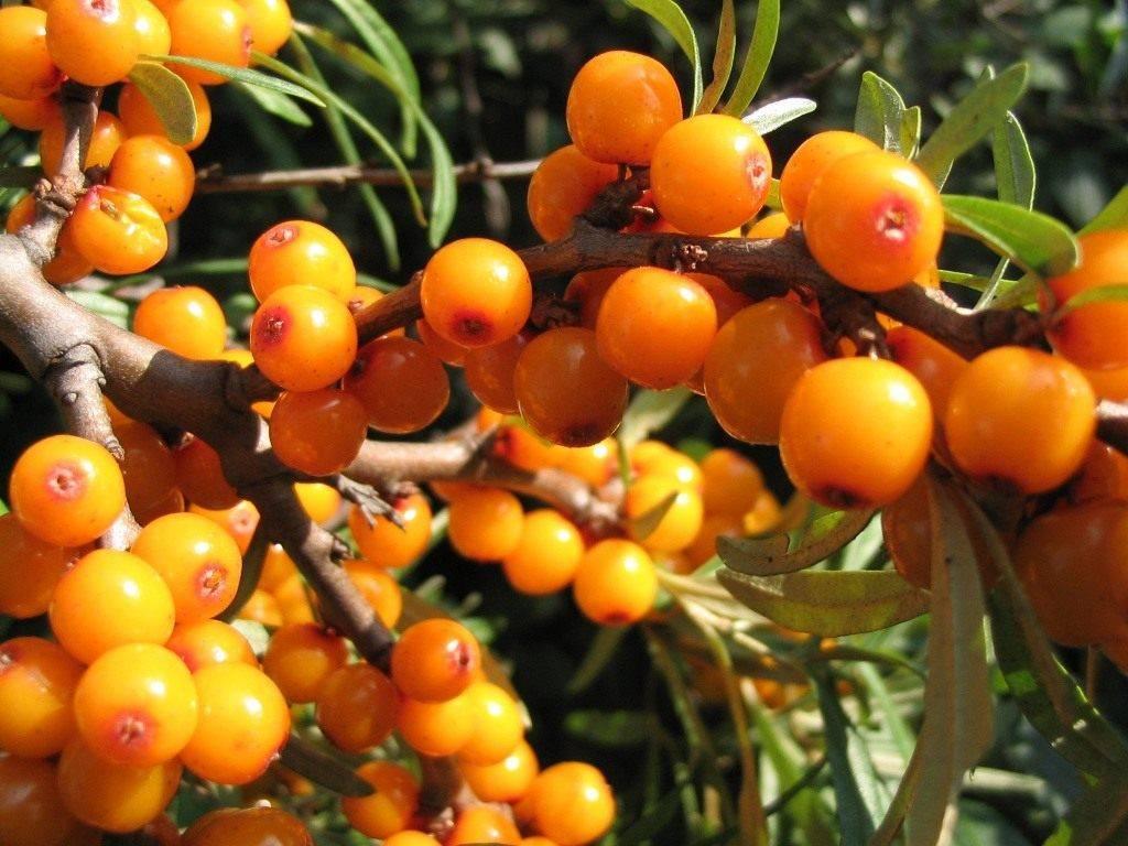 Облепиха - желанное растение в нашем саду. подбираем сорт