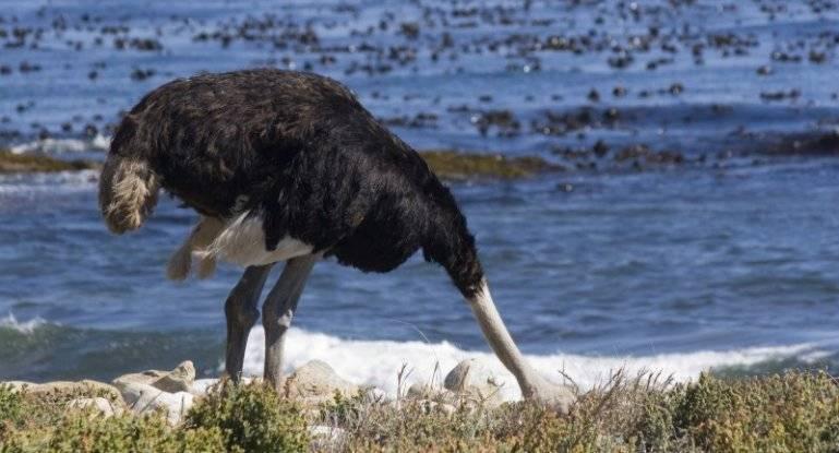 Почему и как страус прячет свою голову в песок