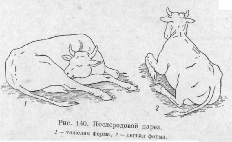 Послеродовой парез у коров (родильный): лечение, причины, профилактика