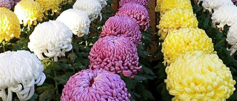 Хризантемы в саду: проблемы с цветением