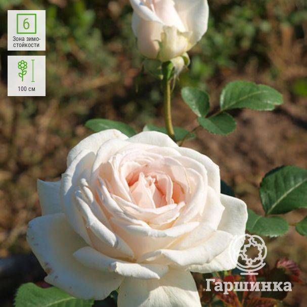 Роза амалия. роза амалия роза амелия энциклопедия роз