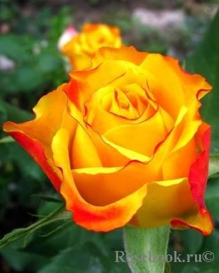 Розы в тени: обзор теневыносливых сортов