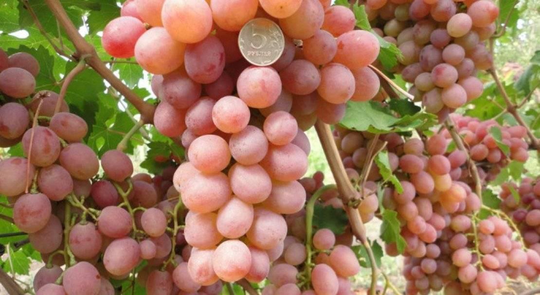 Виноград викинг: описание сорта и его характеристик