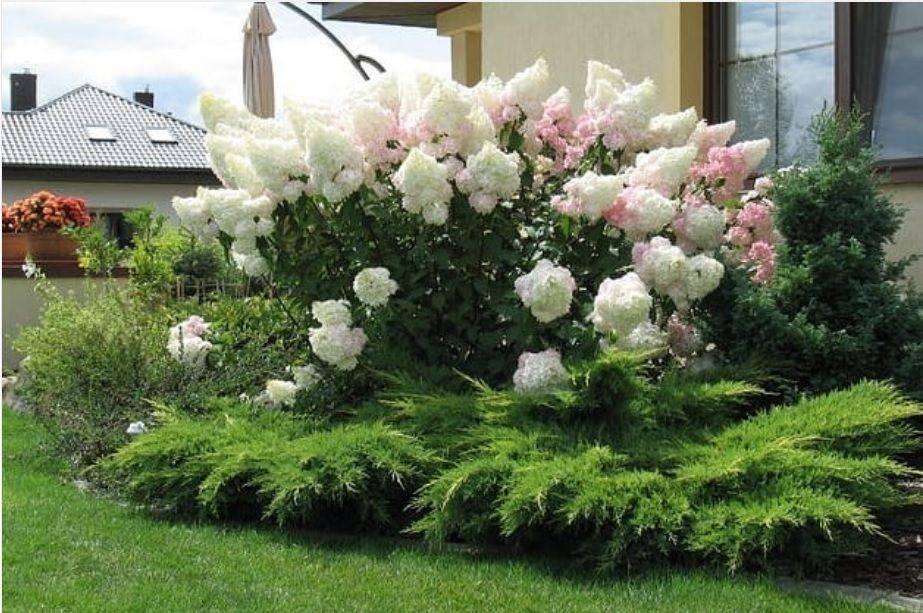 Садовая гортензия: особенности выращивания в открытом грунте