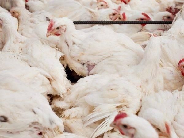 Цех выращивания бройлеров, технологии выращивания арбор-эйкерса - технология производства мяса бройлеров арбор-эйкера мощностью 2 млн. голов