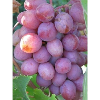 Гурман ранний виноград