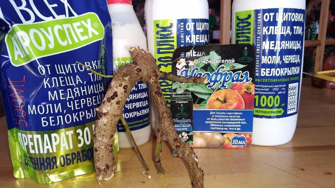 5 народных способов, чем обработать смородину от тли. пусть урожай смородины вас радует!