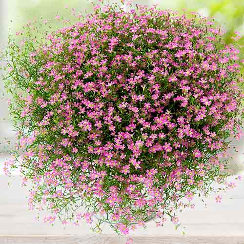 Гипсофила (gypsophila) — описание, выращивание, фото | на leplants.ru