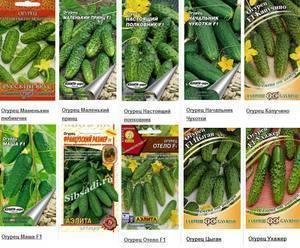 Лучшие самоопыляемые сорта огурцов в семенах для открытого грунта
