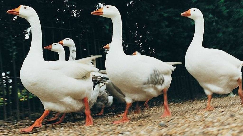 Чем и как правильно кормить гусят?