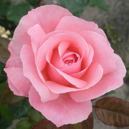 Роза грандифлора королева елизавета (queen elizabeth) - история, описание, агротехника, награды | о розе