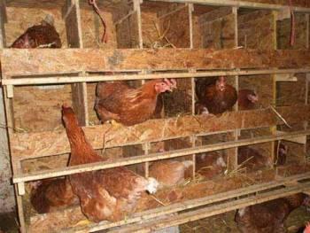 Содержание кур несушек в домашних условиях: разведение, кормление, выращивание