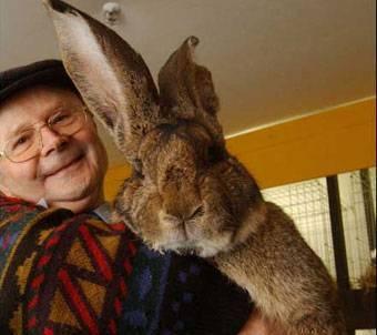 Самый большой ручной кролик в мире