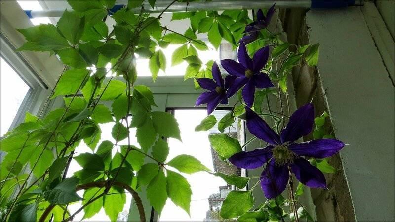 Выращивание дикого винограда на балконе