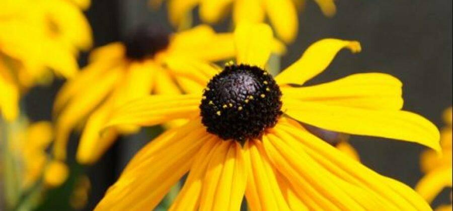 Рудбекия многолетняя — выращивание и уход за растением