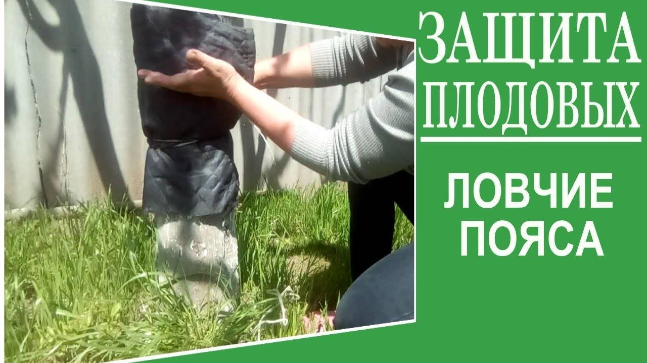 Клей для ловчих поясов своими руками. как я делаю ловчие пояса на деревья от вредителей