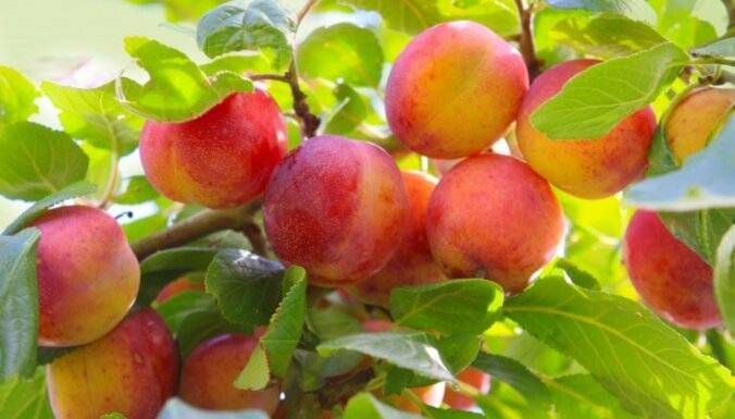 Сроки первого плодоношения сливы