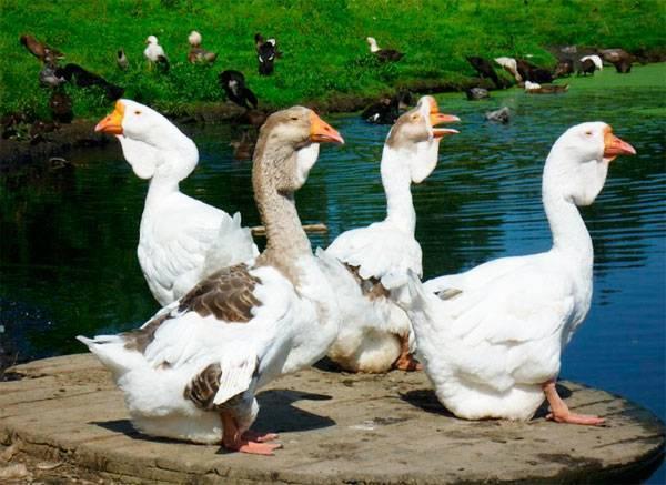 Гусь с«кошельком». зачем грайворонец разводит редкую породу домашних птиц. новости общества
