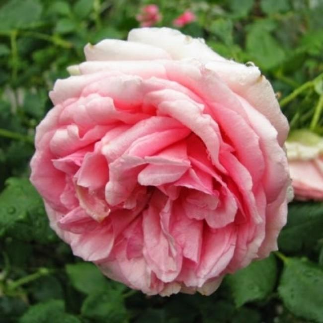 Розы леди роуз - общая информация - 2020