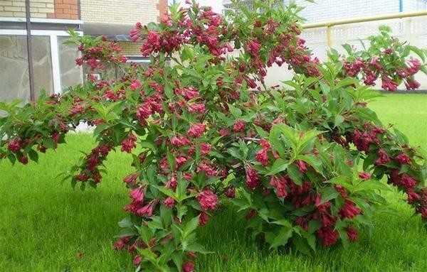 Лучшие кустарники цветущие все лето зимостойкие для участка.   красивый дом и сад