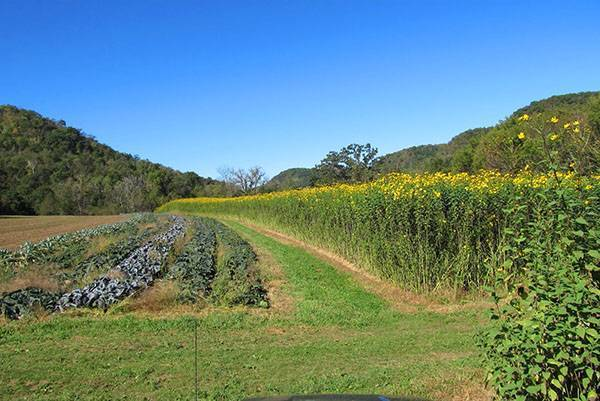 Как посадить топинамбур весной: где и по какой схеме выращивать земляную грушу в открытом грунте на даче, а также правильная глубина заделки ее клубней и семян, уход