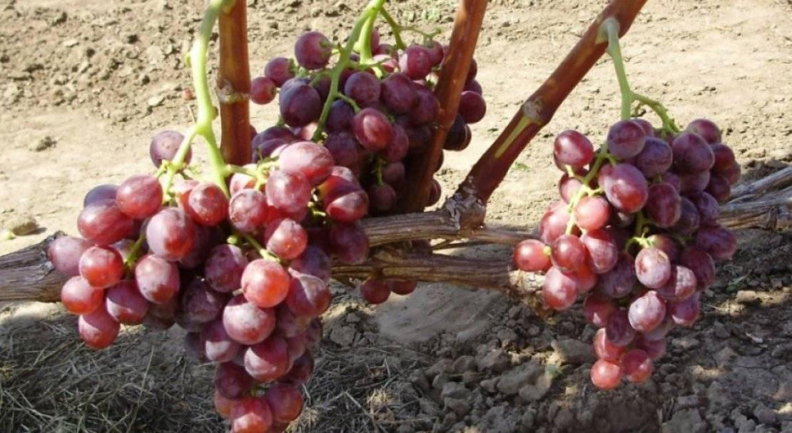 Виноград кардинал: описание сорта и советы по возделыванию