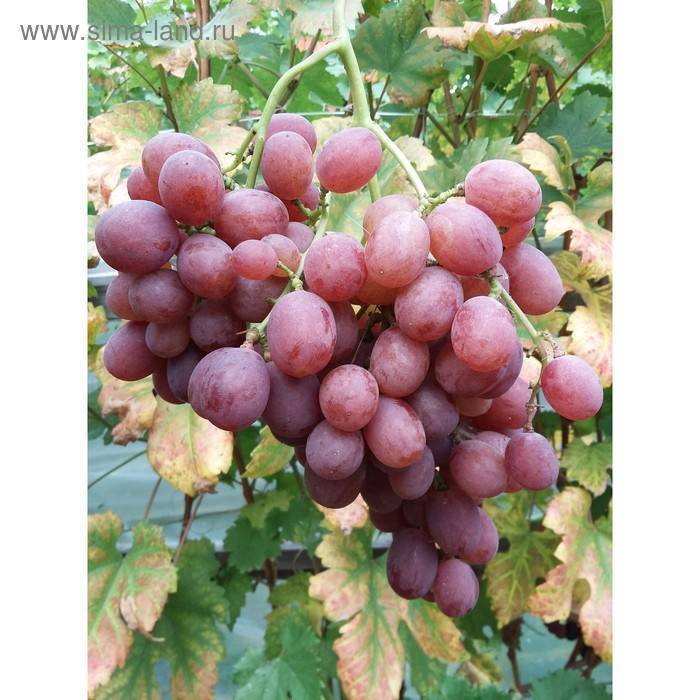Виноград молдова: описание сорта, характеристики, фото, отзывы, правила выращивания и ухода