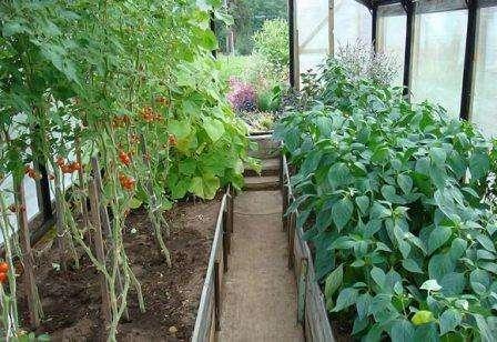 Баклажаны и огурцы в одной теплице: можно ли сажать, как вырастить вместе
