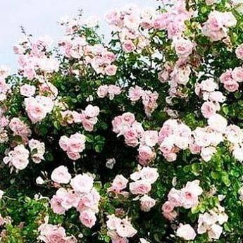Роза плетистая new dawn ️