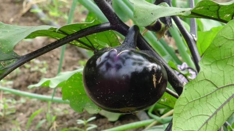 Белый баклажан бибо: характеристика, агротехника выращивания