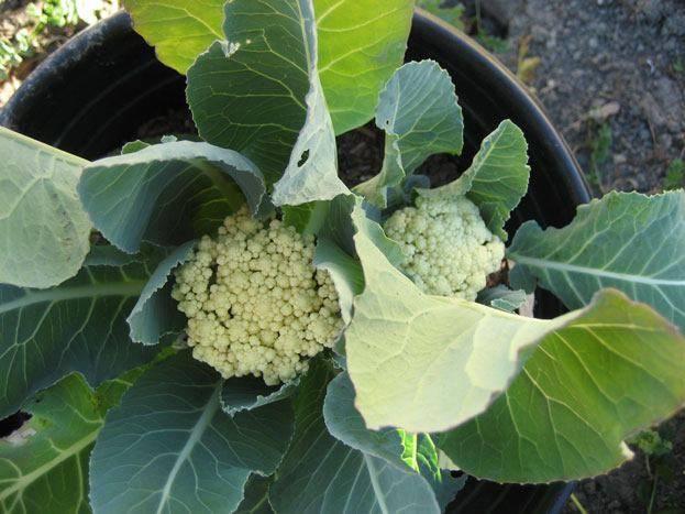 Как вырастить рассаду цветной капусты – подробная инструкция