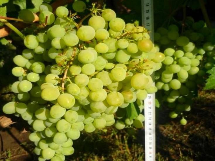 Виноград алешенькин дар (алеша, алешенька): описание сорта, болезни, уход, фото