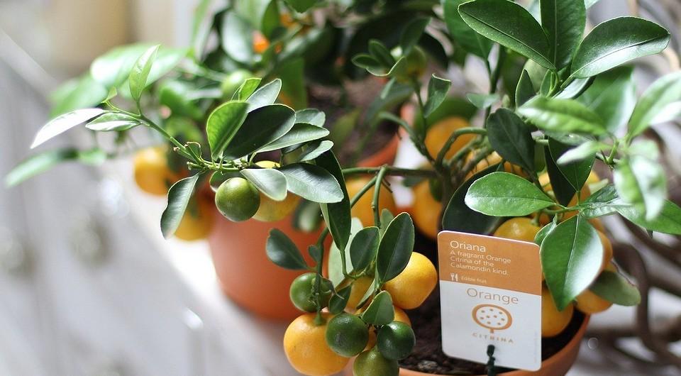 Как правильно вырастить мандарин в домашних условиях