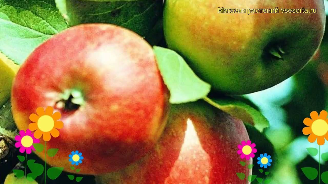 Сорт яблони коробовка фото и описание сорта