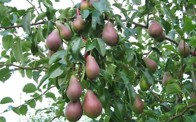 Груша «елена»: характеристика сорта и агротехника выращивания