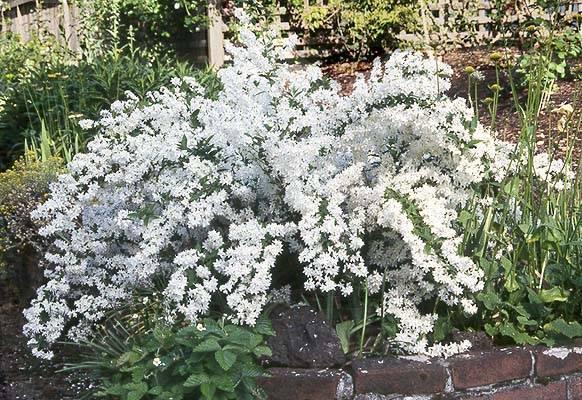 Низкорослые и стелющиеся кустарники в саду, фото   сажаем сад