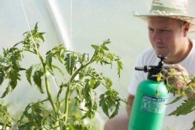 Как и когда опрыскивать рассаду томатов