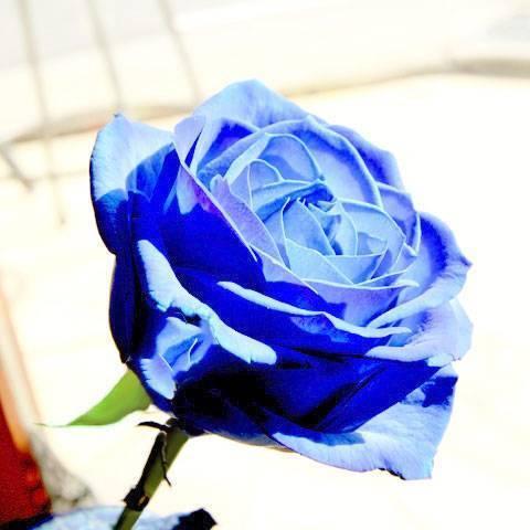 О голубых розах: существуют ли в природе, как правильно окрашивать
