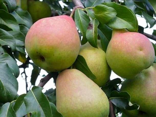 Зимние сорта яблонь для подмосковья и средней полосы россии