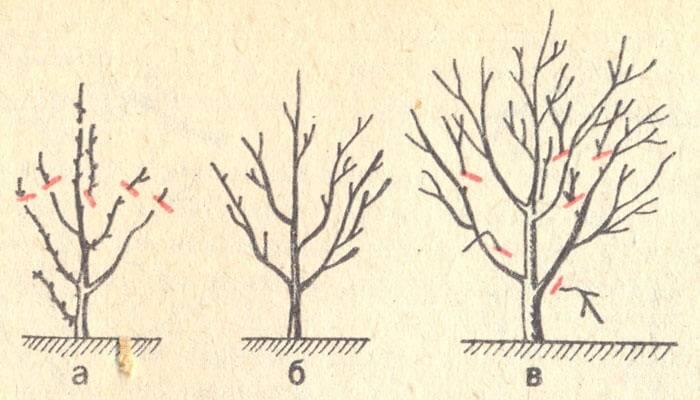 Правильная обрезка вишни молодой, старой, войлочной, весной или осенью?