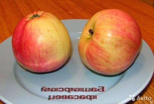 яблоня башкирский изумруд описание фото оставила свой след