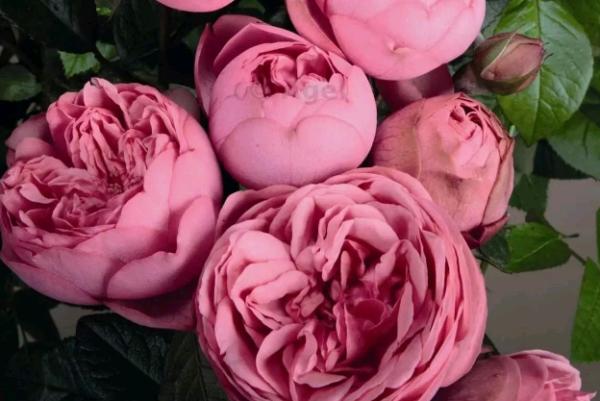 Кустовые розы - описание и название сортов с фото. выращивание и посадка домашних кустовых роз в саду и горшке