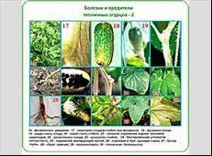 Болезни огурцов в теплице и открытом грунте: фото, способы лечения и меры профилактики