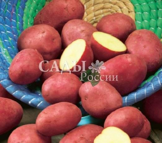 """Картофель """"романо"""" - описание сорта, фото, подробная характеристика семенной картошки"""