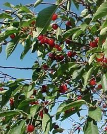 О вишне Уральской рубиновой: описание и характеристики сорта, посадка и уход
